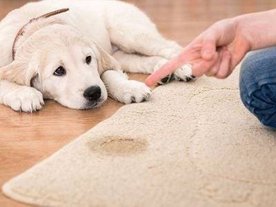 Pet Stain and Odor Removal Services in Denver